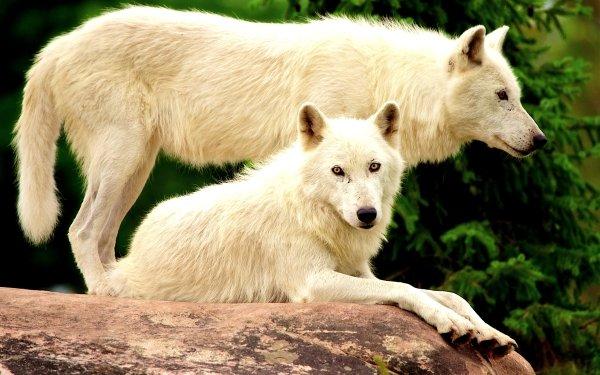 Animal Wolf White Wolf Rock HD Wallpaper   Background Image