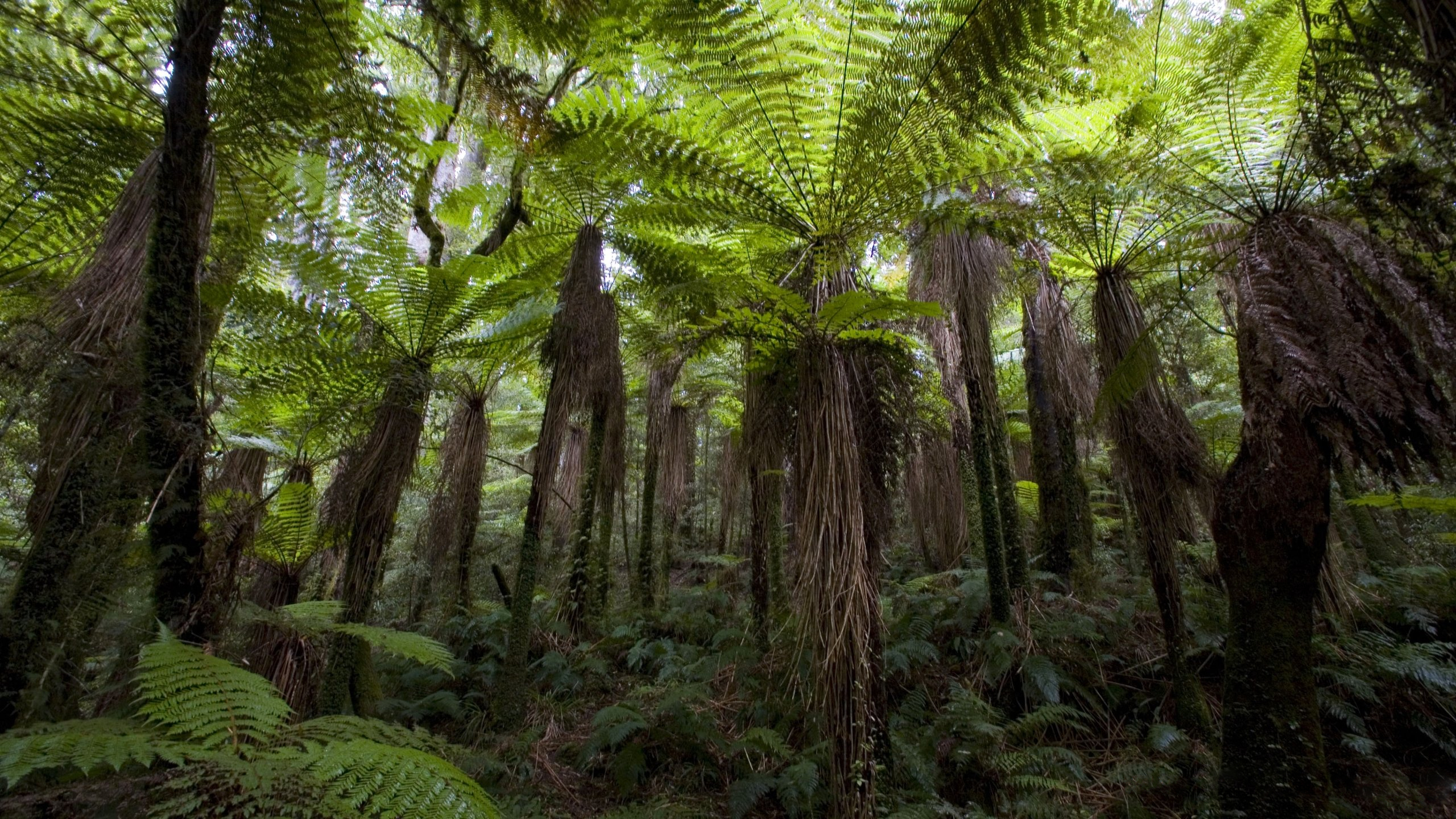New Zealand Forest Hd Wallpaper Background Image