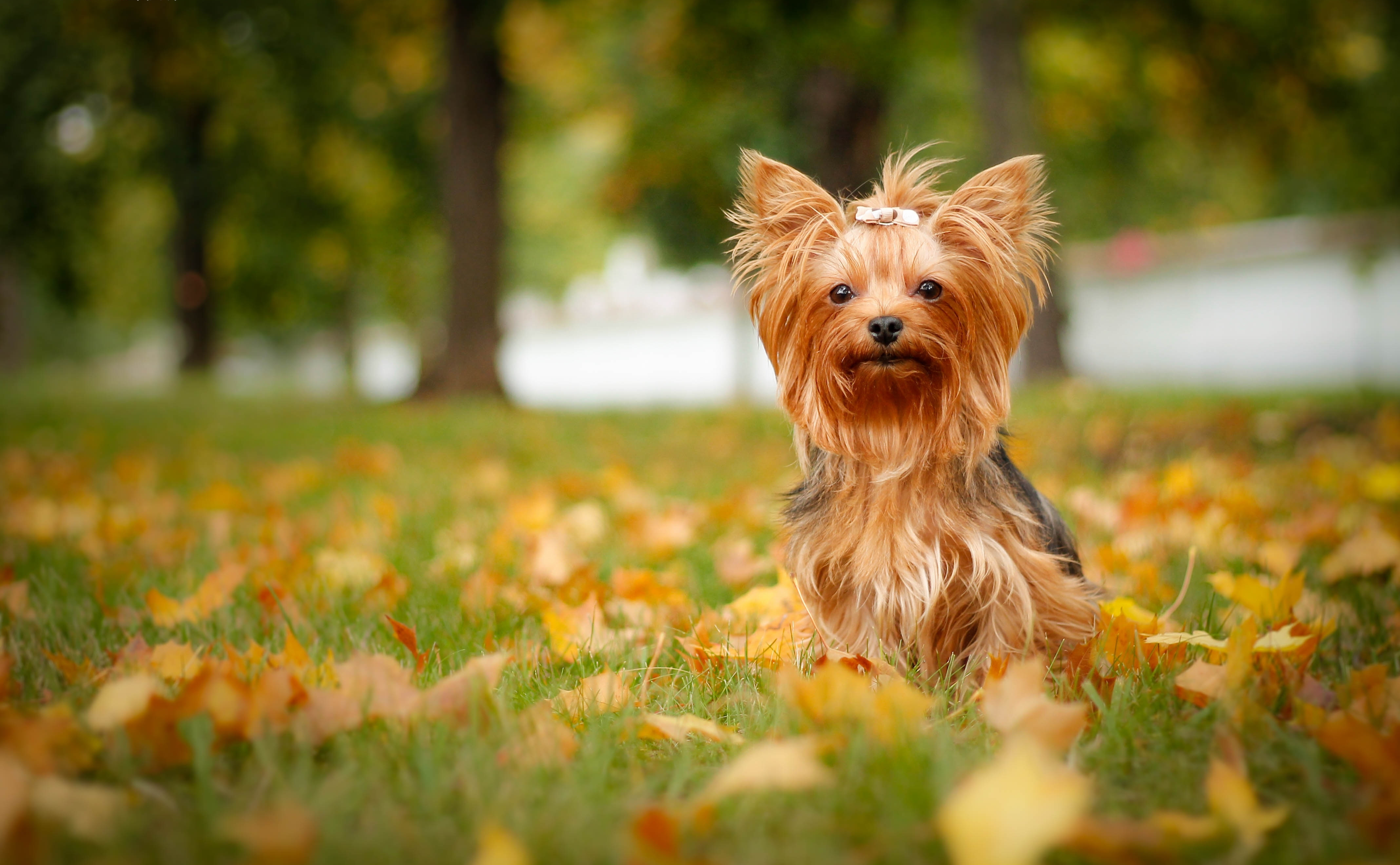 Yorkshire Terrier 4k Ultra HD Wallpaper | Background Image | 4272x2639 | ID:747359 - Wallpaper Abyss