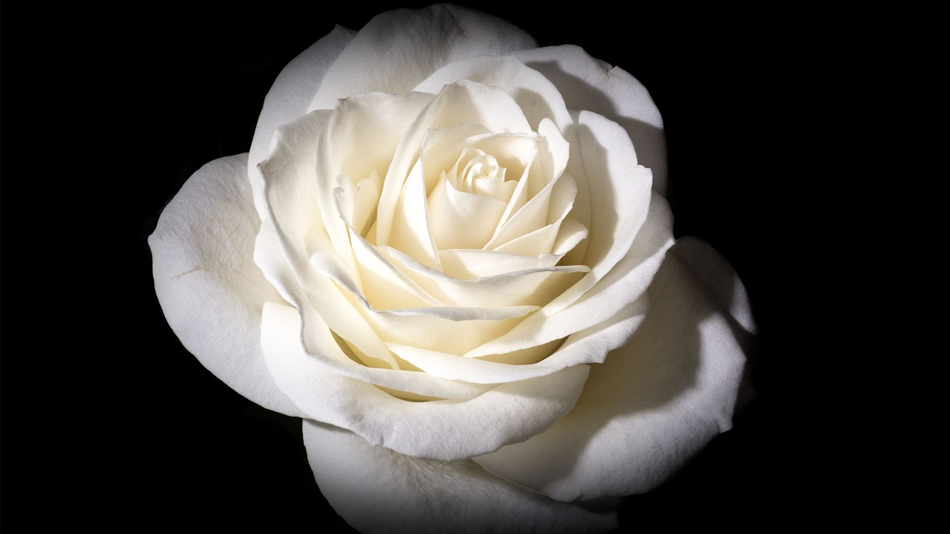 White Rose Hd Wallpaper Background Image 1920x1080 Id
