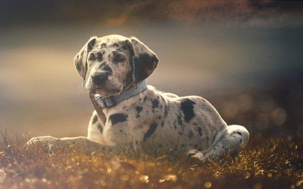 Animal Great Dane Dogs Puppy Dog Grass Fog Baby Animal HD Wallpaper | Background Image