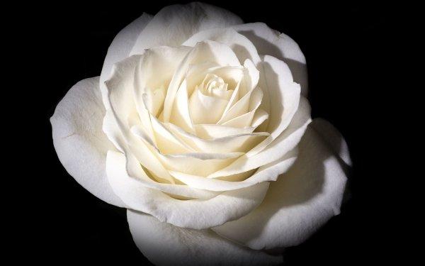 Earth Rose Flowers Flower White Rose White Flower HD Wallpaper | Background Image