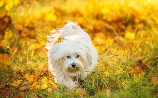 Animal Maltese Dogs Dog Sunny Grass HD Wallpaper   Background Image