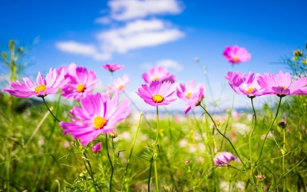 Earth Cosmos Flowers Flower Nature Pink Flower Depth Of Field HD Wallpaper   Background Image