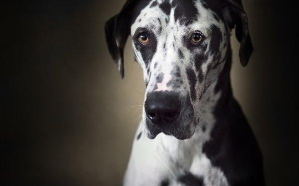 Animal Great Dane Dogs Muzzle Dog HD Wallpaper   Background Image