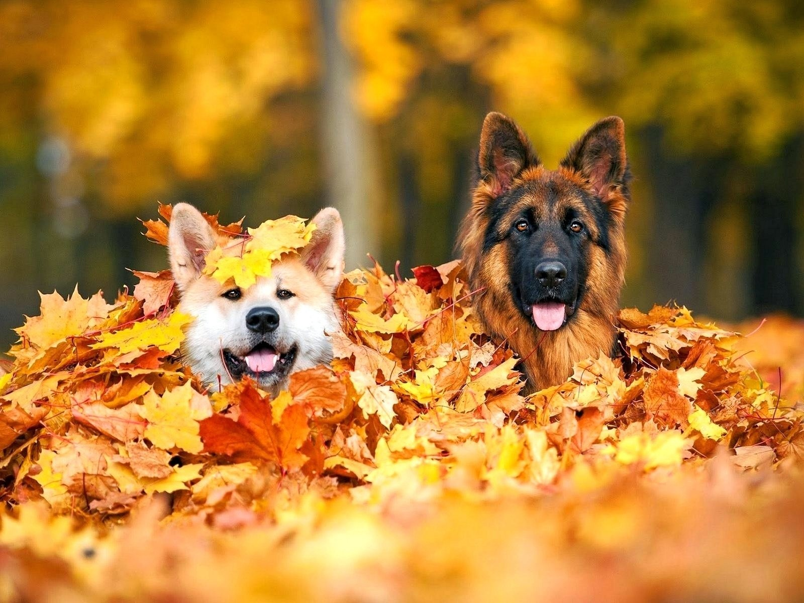 Dogs in Pile of Autumn Leaves Wallpaper and Background Image ...