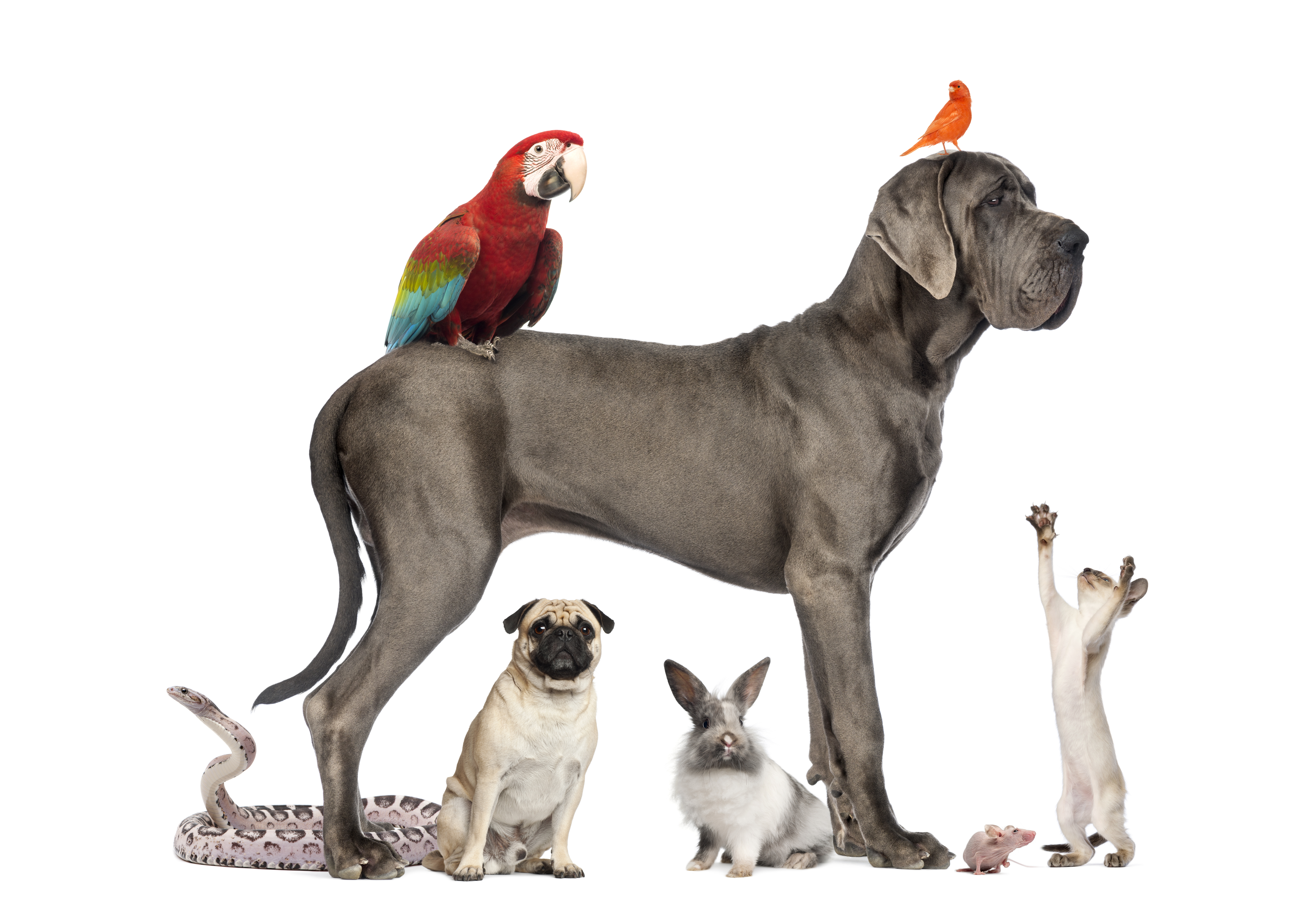 Great Dane Dog Wallpapers: Pets 5k Retina Ultra HD Wallpaper