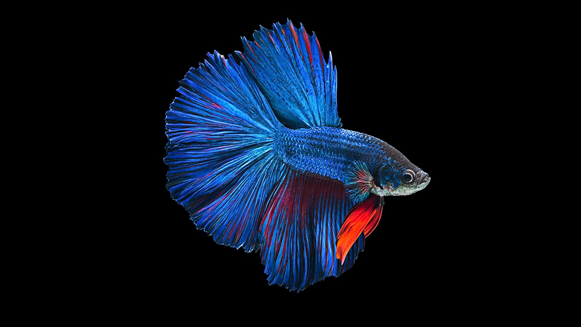 Betta Full HD Wallpaper and Background Image | 1920x1080 ...