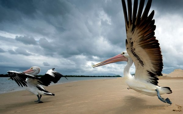 Animal Pelican Birds Pelicans Bird Wildlife Sand Beach HD Wallpaper | Background Image