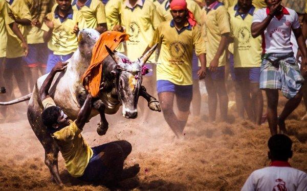Sports Jallikattu Bull Tamil Indian HD Wallpaper | Background Image