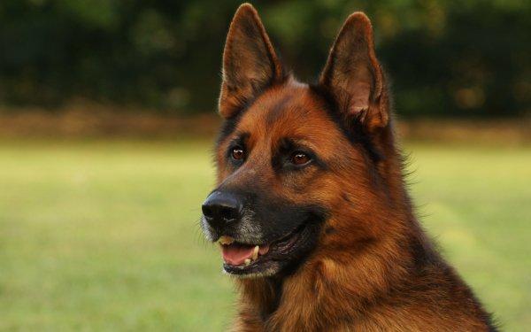 Animal German Shepherd Dogs Dog Muzzle HD Wallpaper | Background Image
