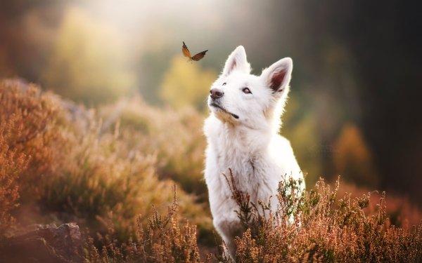 Animal White Shepherd Dogs Dog Muzzle Blur Butterfly HD Wallpaper | Background Image