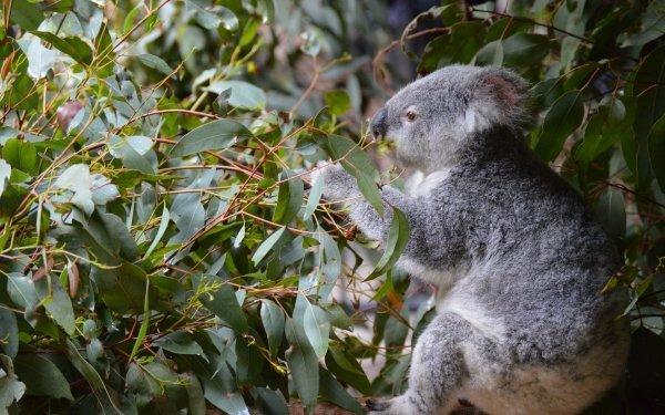 Animal Koala Leaf Marsupial Mammal HD Wallpaper | Background Image