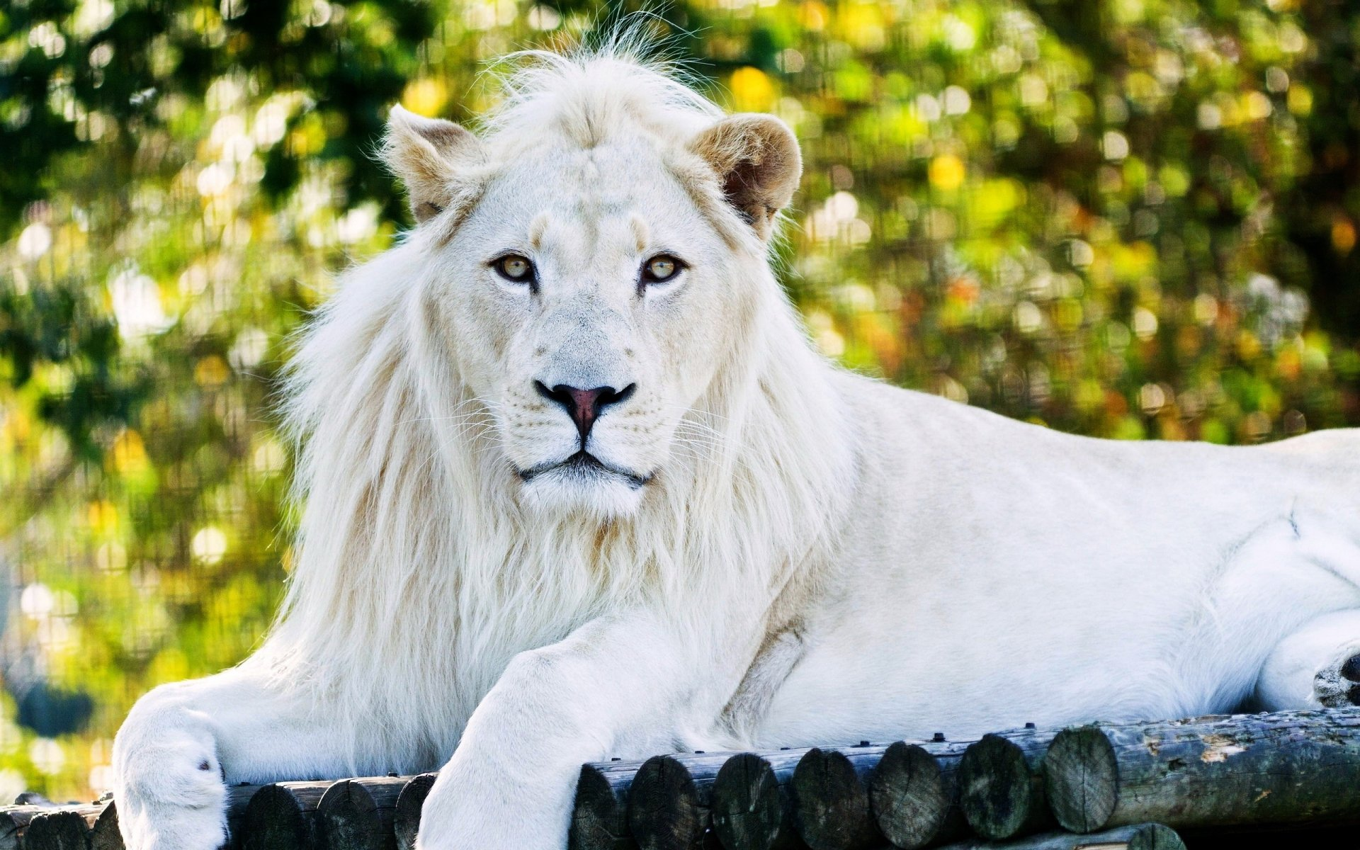 Animal - White Lion  Animal Big Cat Bokeh predator (Animal) Wallpaper