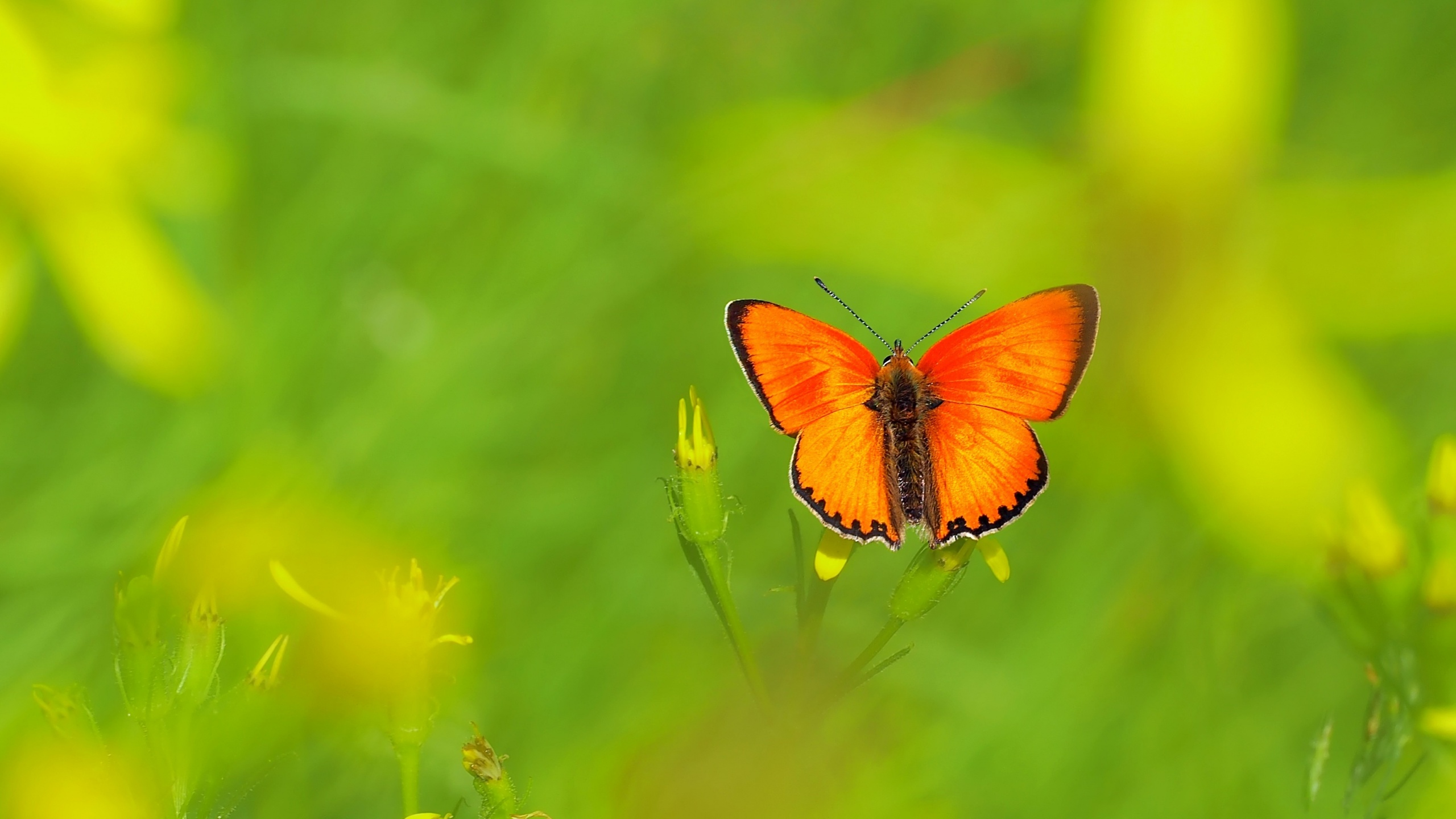 Orange Butterfly HD Wallpaper   Background Image ...