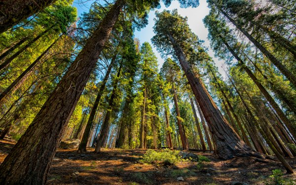 Earth Forest Sequoia Tree HD Wallpaper   Background Image