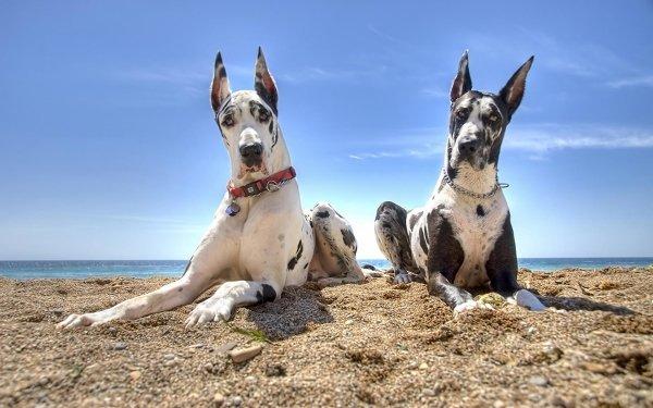 Animal Great Dane Dogs Dog Beach HD Wallpaper   Background Image