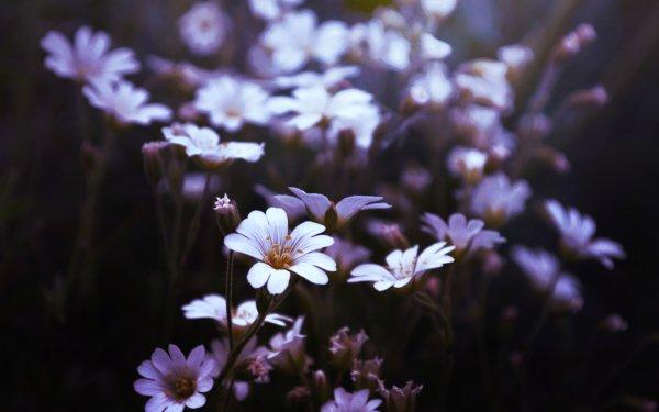 Earth Flower Flowers Nature White Flower Blur HD Wallpaper | Background Image