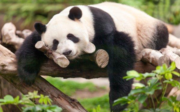 Animal Panda Sleeping Cute HD Wallpaper   Background Image