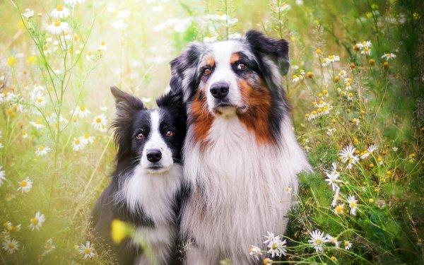Animal Australian Shepherd Dogs Dog Flower White Flower Border Collie HD Wallpaper   Background Image