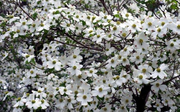 Earth Flower Flowers Blossom Dogwood White White Flower HD Wallpaper | Background Image