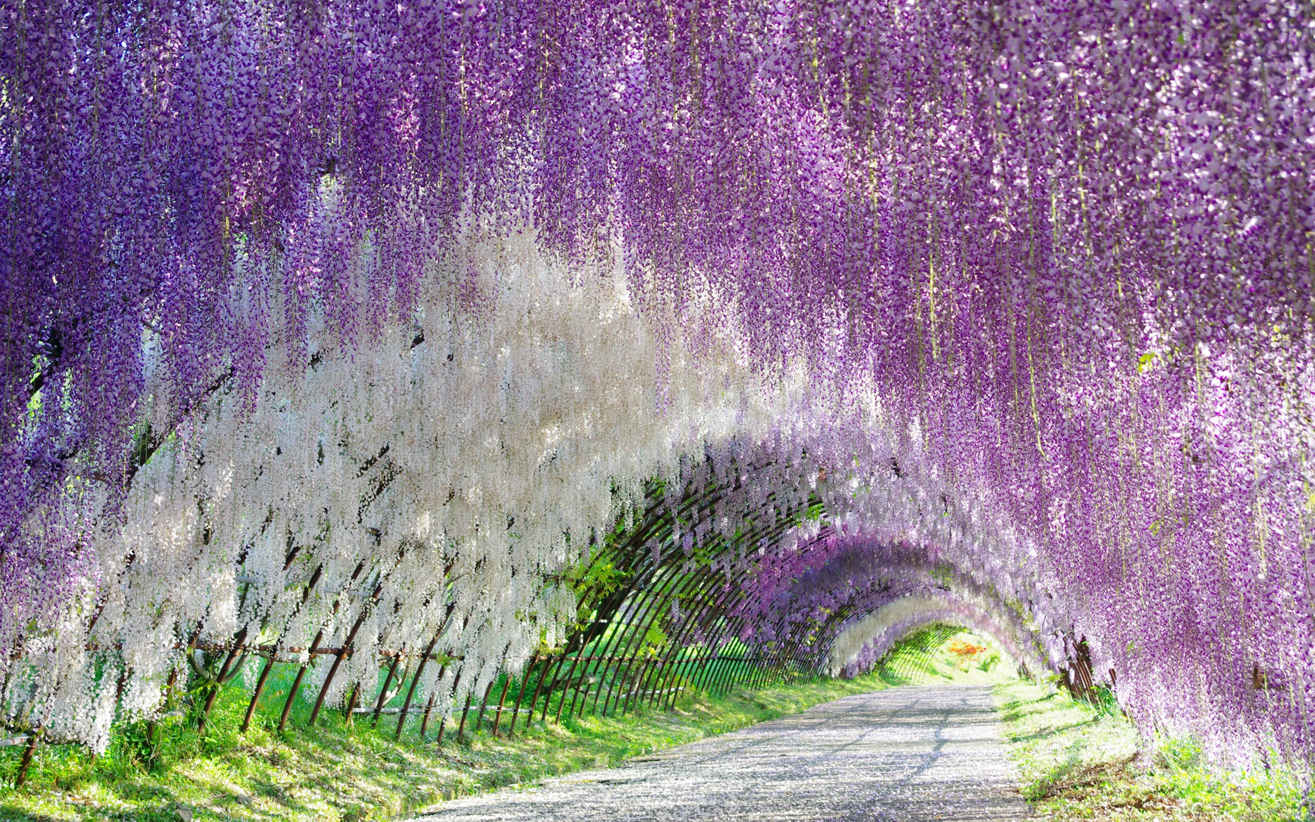 Wisteria Tunnel Full Hd Wallpaper And Background
