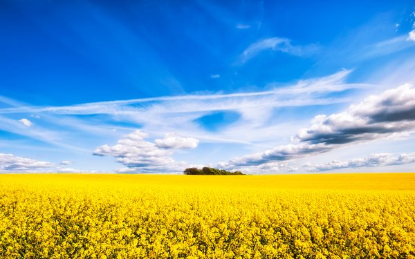 Earth Rapeseed Field Nature Cloud Sky Horizon Flower Yellow Flower Summer HD Wallpaper   Background Image