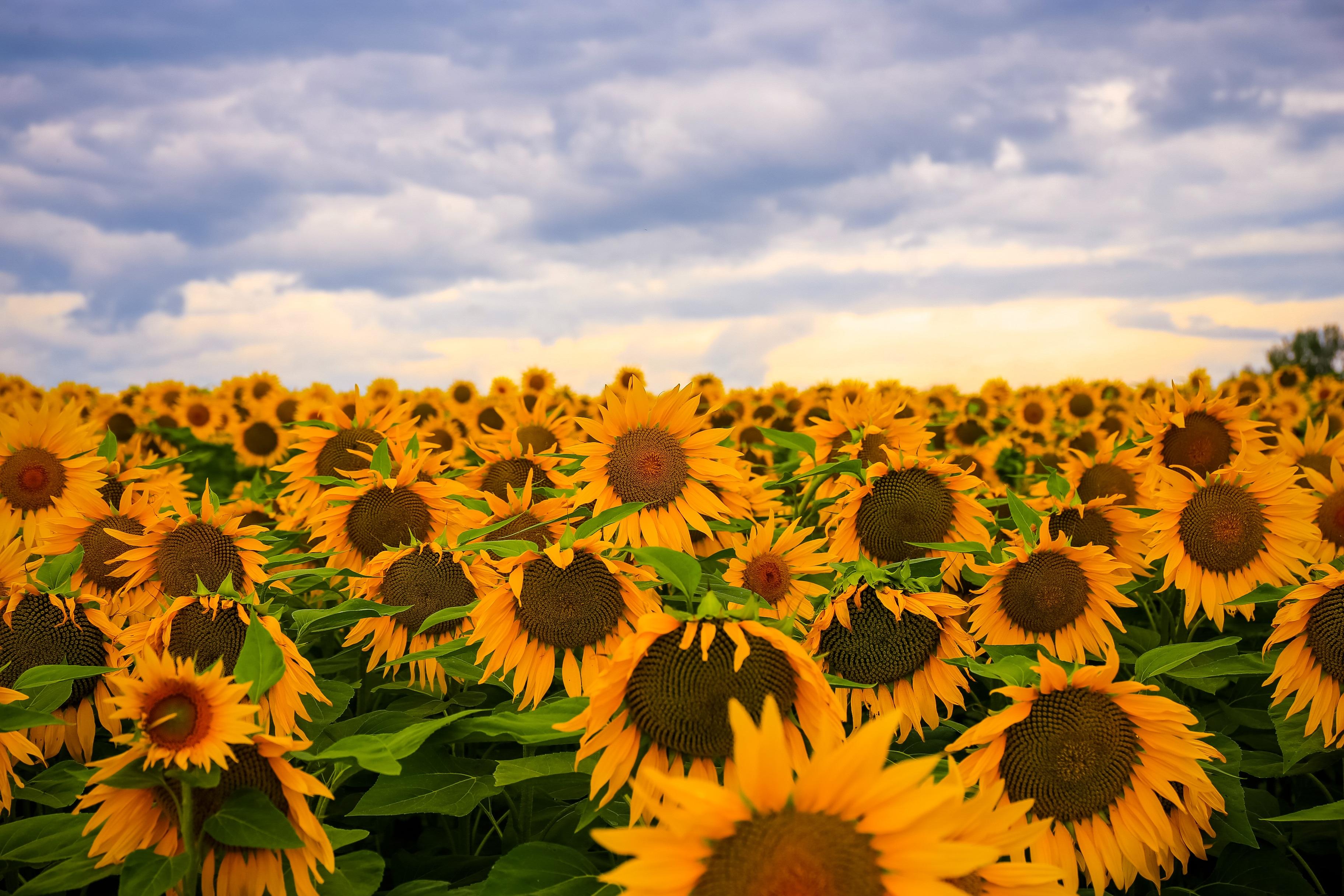 Sunflower Field HD Wallpaper   Background Image ...