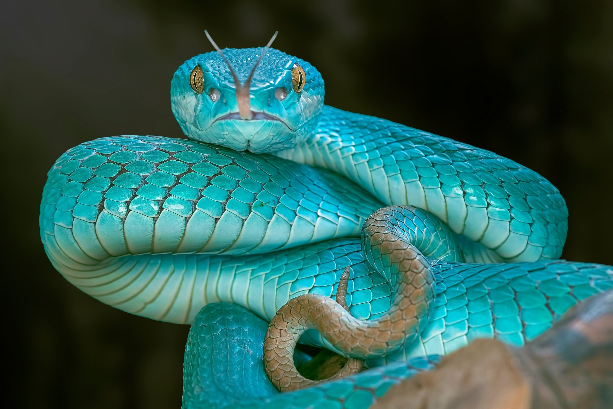 A Very Rare Blue Pit Viper Snake Hd Wallpaper Background