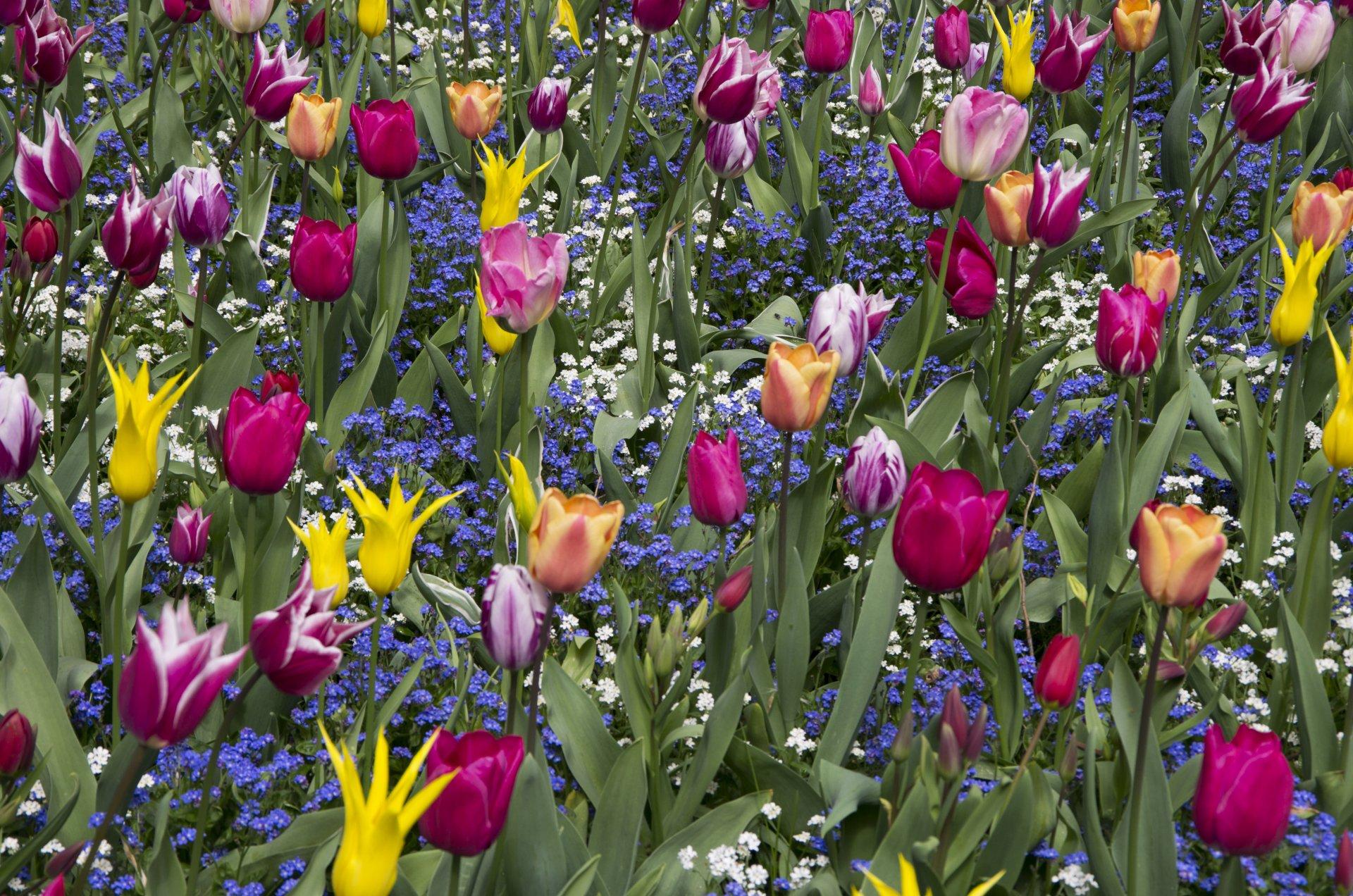 Earth - Tulip  Nature Flower Yellow Flower Pink Flower Summer Wallpaper