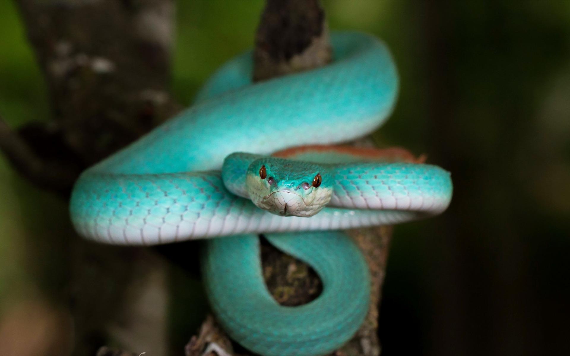 Trimeresurus Albolabris Insularis Blue Pit Viper Hd обои