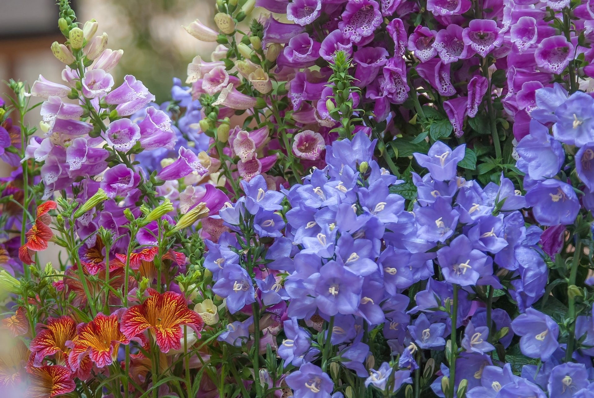 Earth - Flower  Blue Flower Nature Purple Flower Wallpaper