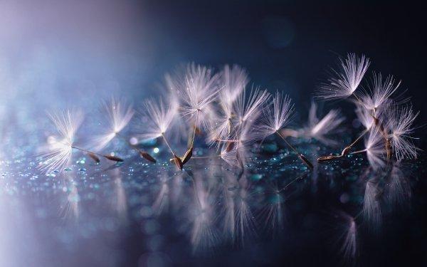 Photography Macro Reflection Dandelion HD Wallpaper   Background Image