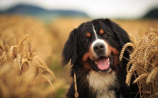 Animal Bernese Mountain Dog Dogs Dog Pet Depth Of Field Summer Wheat Sennenhund HD Wallpaper | Background Image