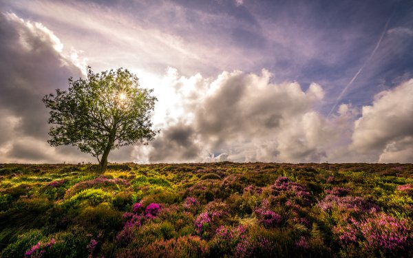 Earth Tree Trees Nature Lonely Tree Lavender Sky Cloud Flower HD Wallpaper   Background Image