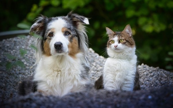 Animal Cat & Dog Cat Dog Pet Australian Shepherd HD Wallpaper   Background Image