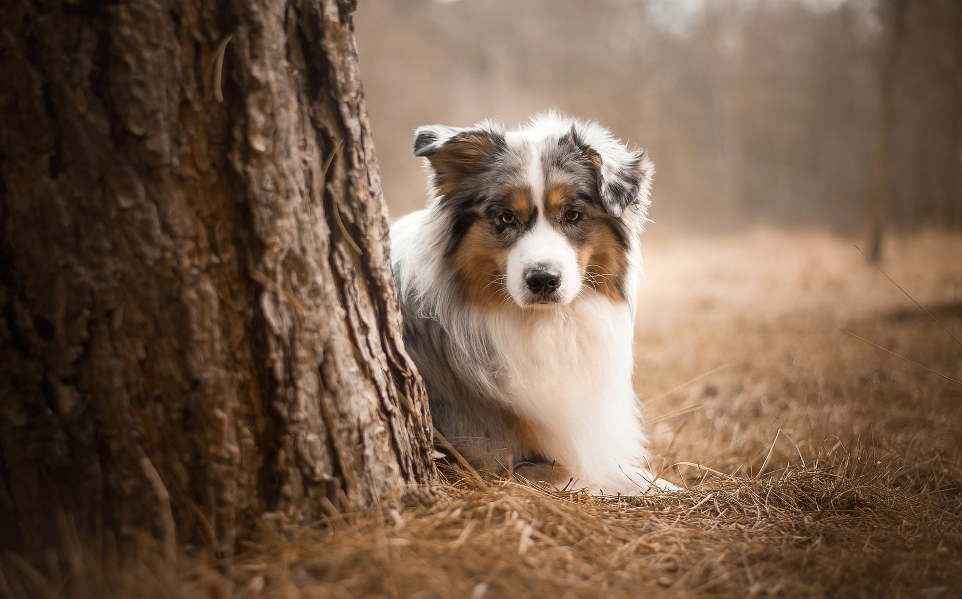 Animal - Australian Shepherd  Dog Pet Depth Of Field Wallpaper