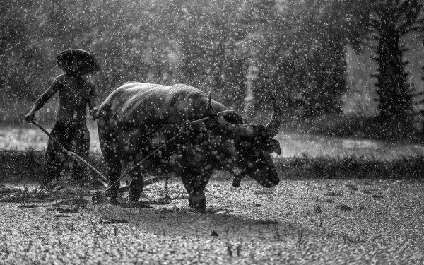 Photography Black & White Myanmar Rain Man Bull HD Wallpaper | Background Image