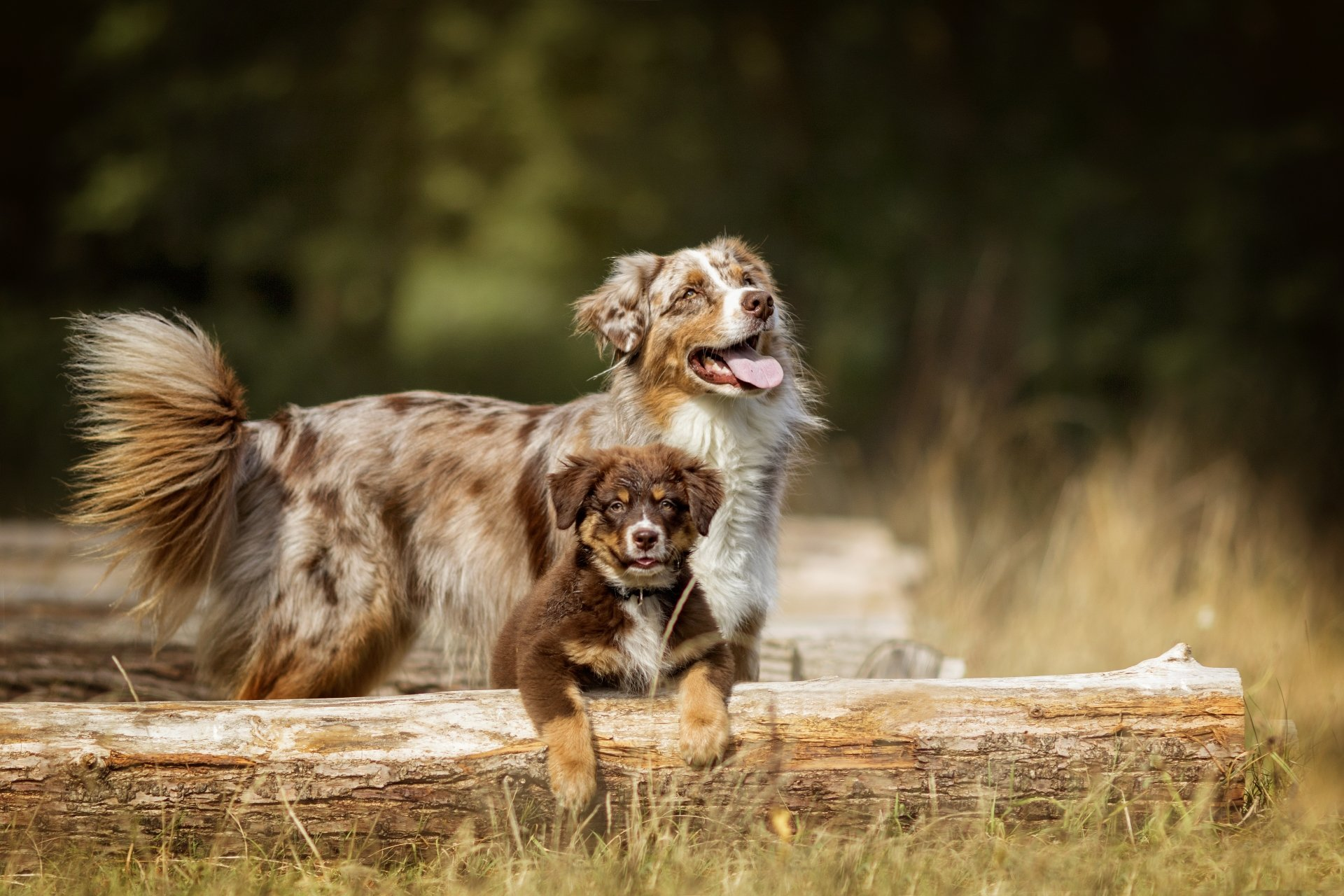 Animal - Australian Shepherd  Dog Pet Puppy Baby Animal Depth Of Field Wallpaper