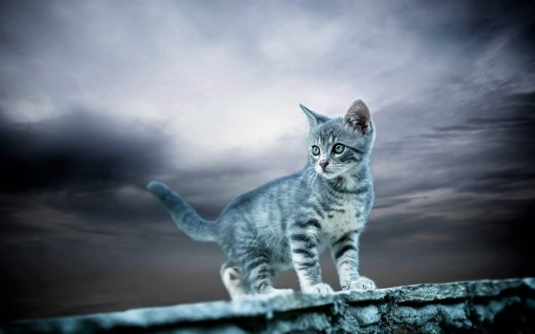 Animal Cat Cats Kitten Gray Cute Baby Animal HD Wallpaper | Background Image