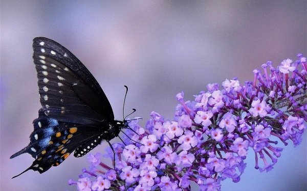 Animali Farfalla Fiori Insetti Purple Flower HD Wallpaper   Sfondo