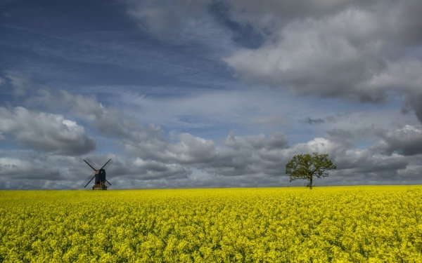 Earth Rapeseed Nature Summer Field Lonely Tree Sky Cloud Windmill Flower Yellow Flower HD Wallpaper | Background Image