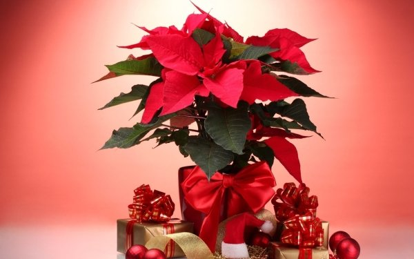 Holiday Christmas Decoration Red Plant Flower Gift Bauble Poinsettia HD Wallpaper   Background Image