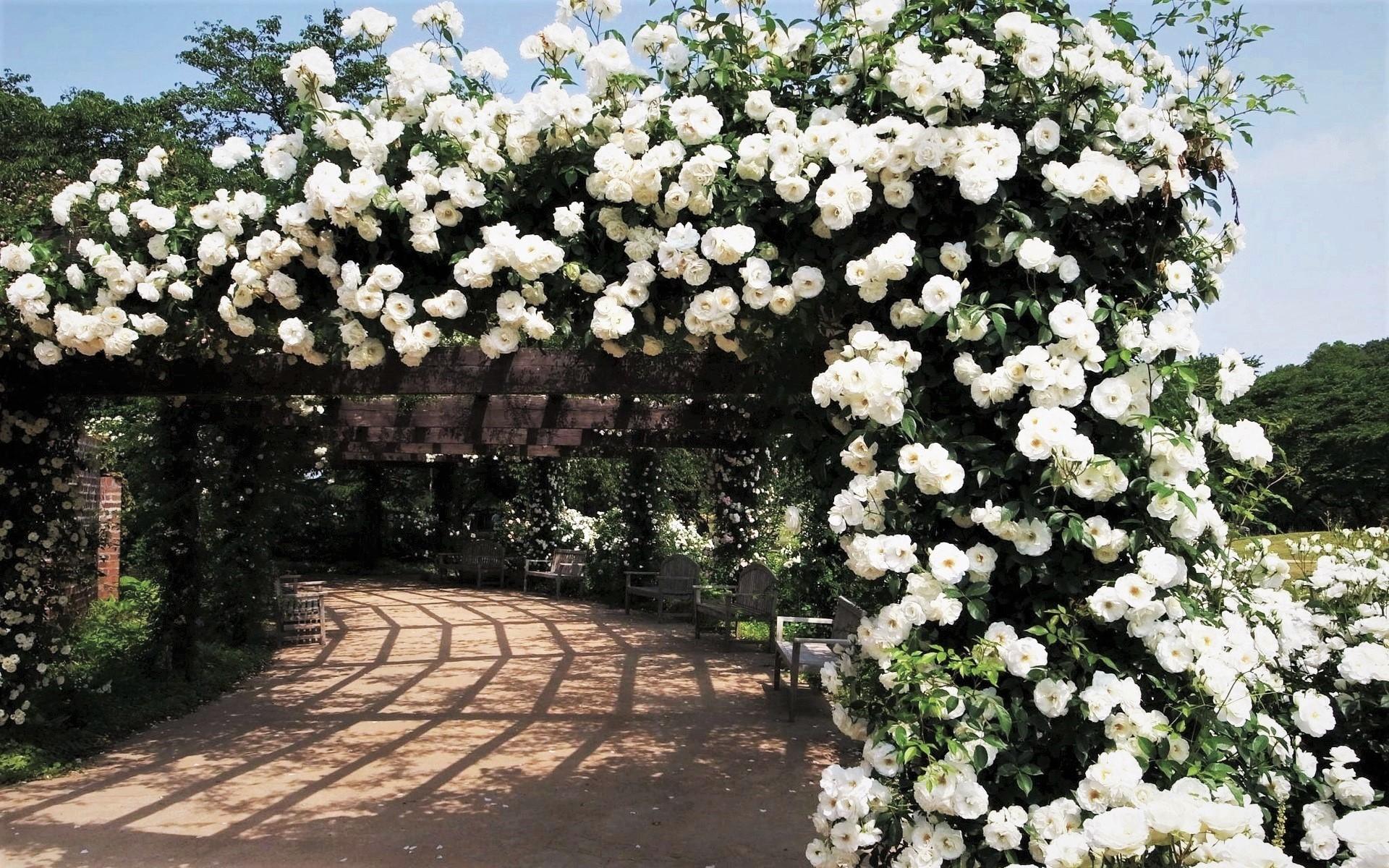 Rose Garden HD Wallpaper   Background Image   1920x1200 ... White Rose Flower Garden Wallpaper