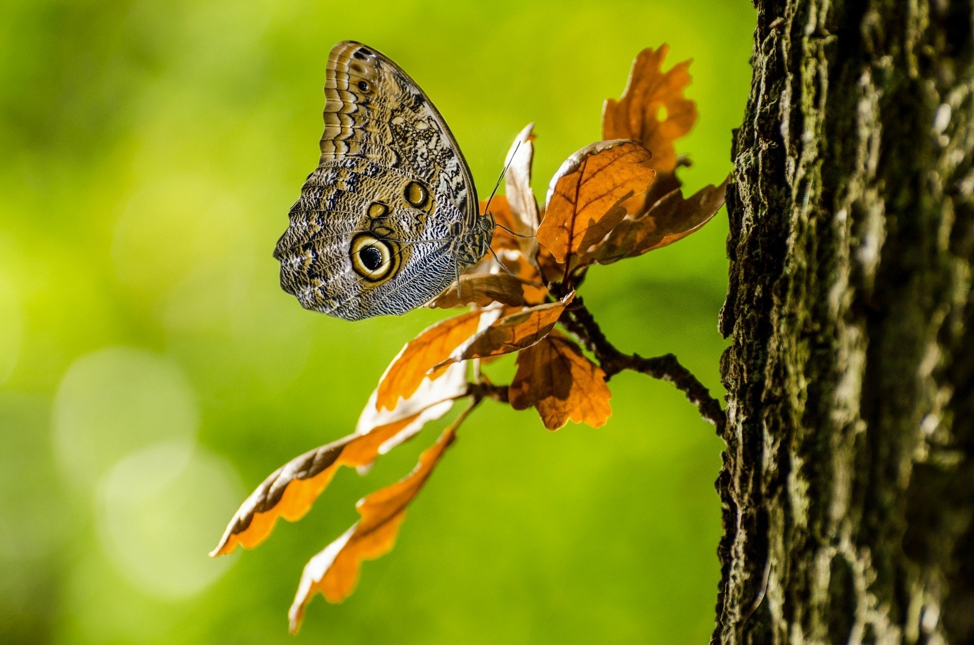 Animal - Butterfly  Insect Wallpaper