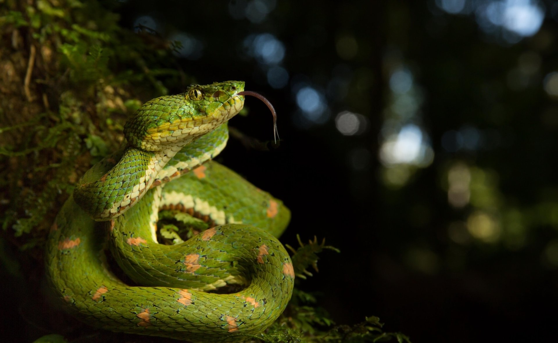Animal - Viper  Snake Reptile Wildlife Bokeh Wallpaper