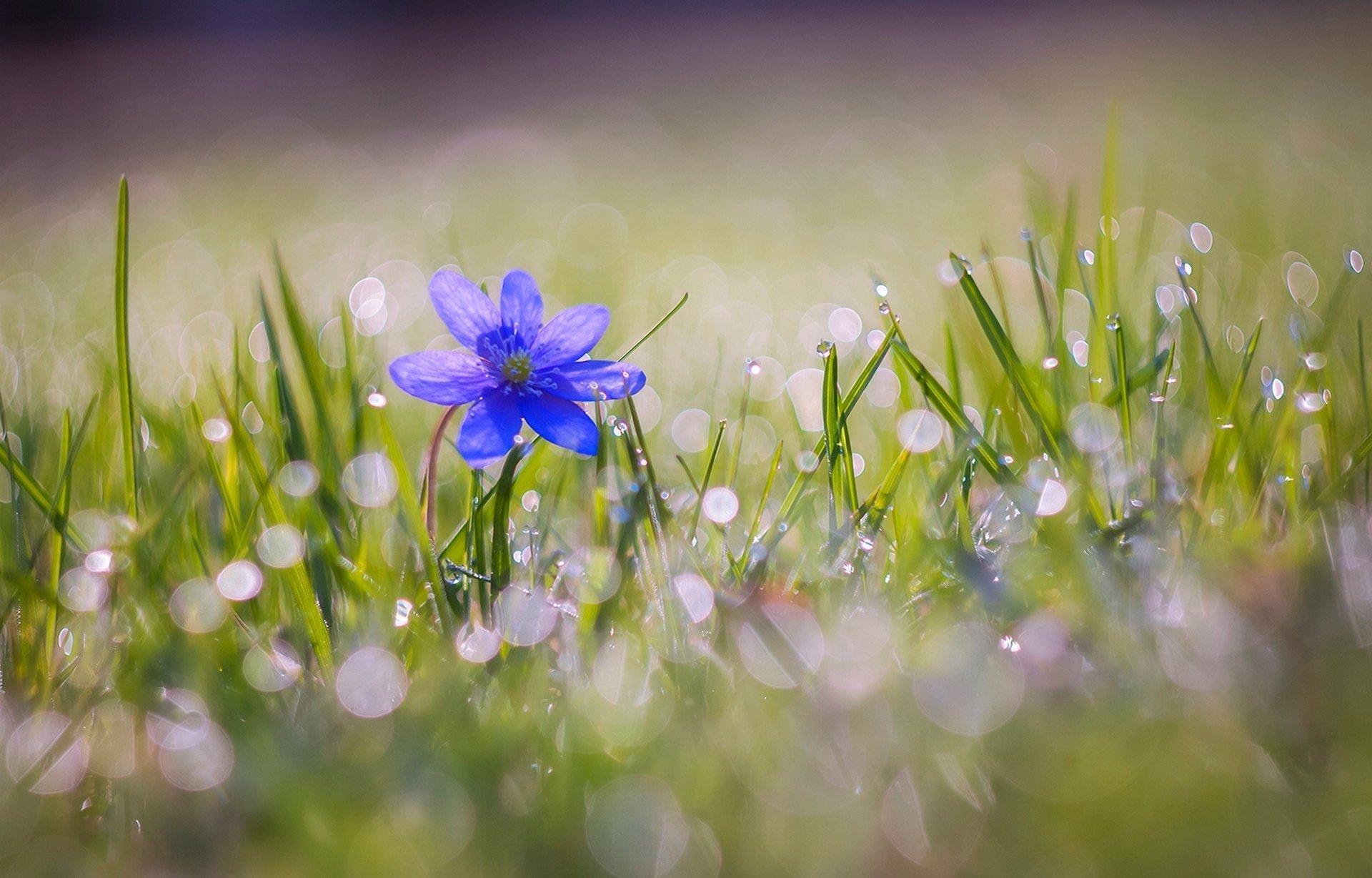 Earth - Flower  Nature Blue Flower Macro Grass Bokeh Wallpaper