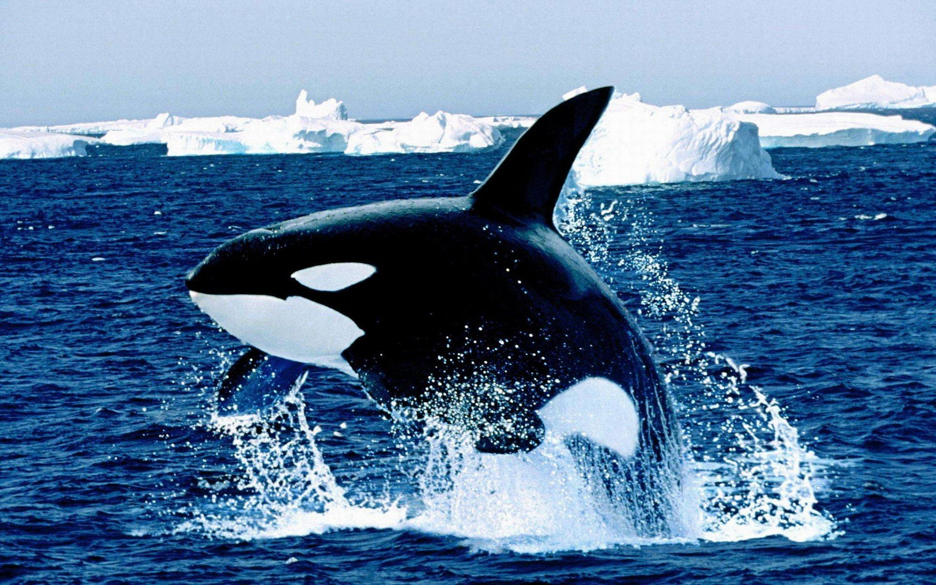 Animal - Whale  Killer Whale Animal Water Iceberg Wallpaper