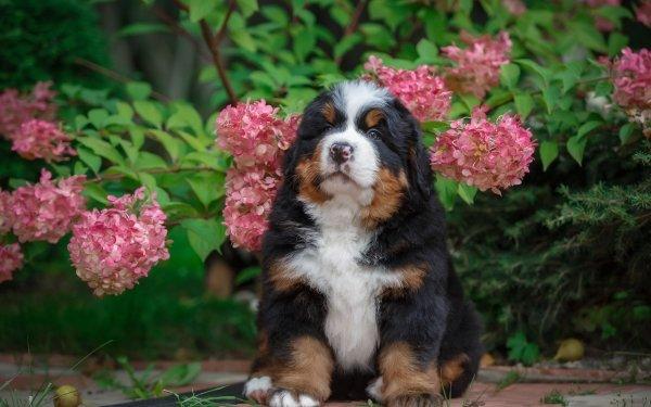 Animal Bernese Mountain Dog Dogs Hydrangea Flower Baby Animal Dog Pet Puppy HD Wallpaper | Background Image