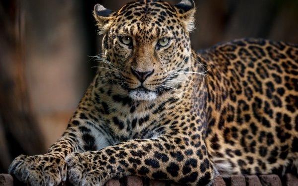 Animal Leopard Cats Big Cat Wildlife predator HD Wallpaper | Background Image
